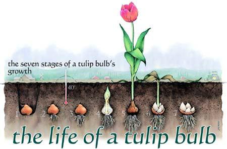 bulb_growth